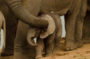 Addo-Baby Elephant1