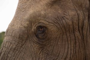 Addo-Elephant-eye-to-eye