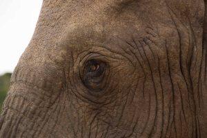 Addo-Elephant-eye-to-eye