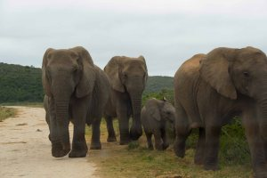 Addo-Elephants-on-road1