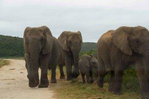 Addo-Elephants-on-road1