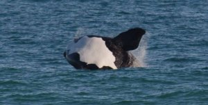 De Hoop Right Whale Breach1