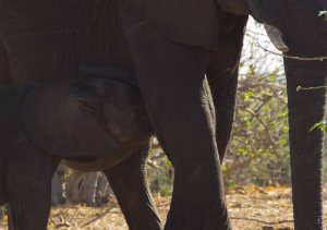 Botswana Nursing Elephant Calf On Chobe River