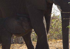 Botswana Nursing Elephant Calf On Chobe River