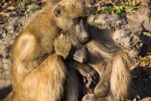 Chacma Baboons Warming In Morning Sun Chobe River Botswana