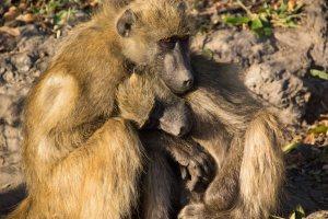 Chacma Baboons Warming In Morning Sun Chobe River Botswana