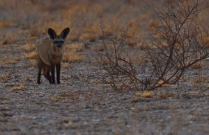 Kalahari Bat Eared Fox