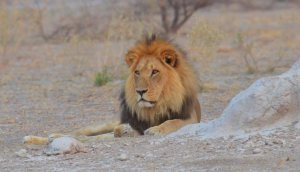 Kalahari Black Maned Lion