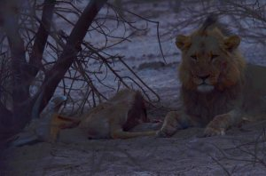 Kalahari Lion With Kudu Kill