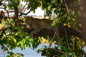 Leopard With Impala Kill Chobe River Botswana