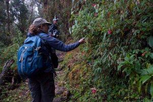 Wild Begonias - Western Cordillera