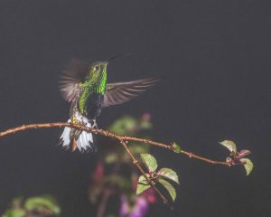 Cloud forest hummingbird