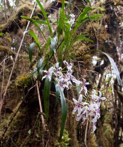 Blooming wild orchids in cloud forest.