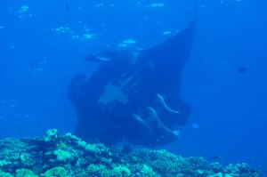 A massive manta ray soars past the reef wall