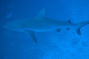Grey reef shark glides by