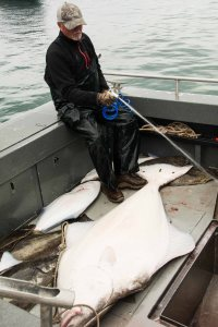 Glacier Giant Halibut2