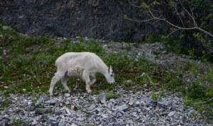 GlacierBay-Mtn Goat2